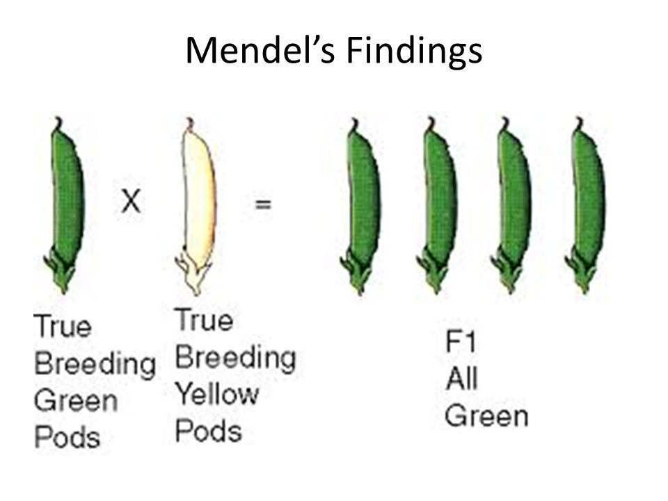 All the pea pods produced from the first generation were green Mendel called the green pea pod trait the dominant trait Mendel called the yellow pea pod trait the recessive trait Mendel allowed this first generation of plants to self – pollinate The second generation of pea pods produced ¾ green peas pods and ¼ yellow Mendel showed that plants could still pass on the yellow trait even when it didn't show up