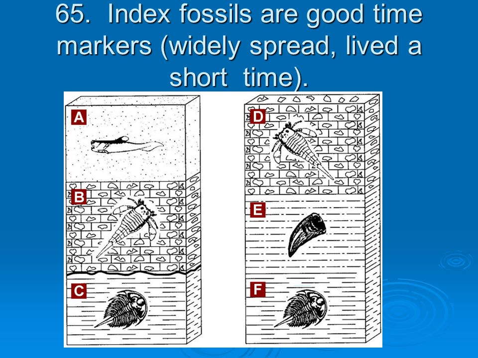 65. Index fossils are good time markers (widely spread, lived a short time).