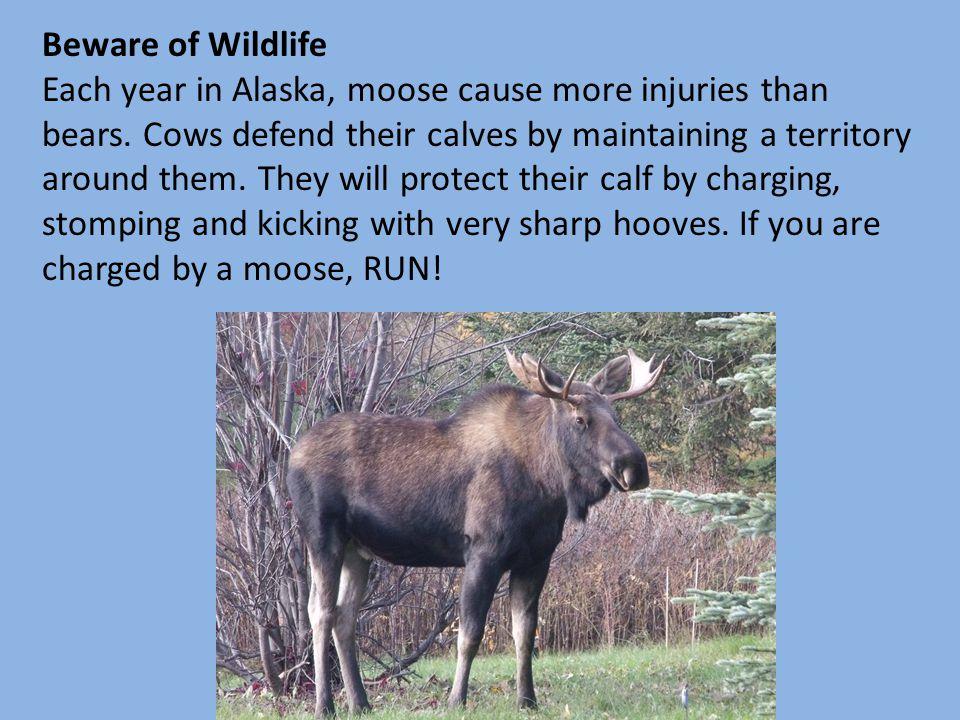 Beware of Wildlife Each year in Alaska, moose cause more injuries than bears.