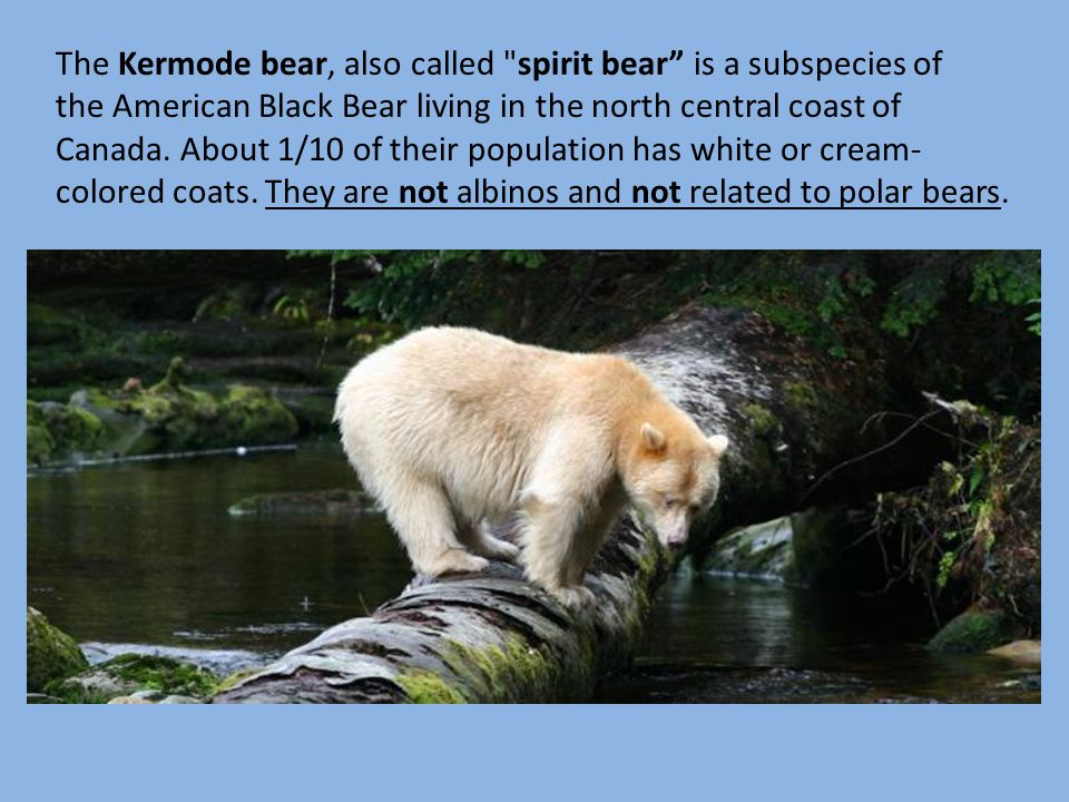 The Kermode bear, also called spirit bear is a subspecies of the American Black Bear living in the north central coast of Canada.
