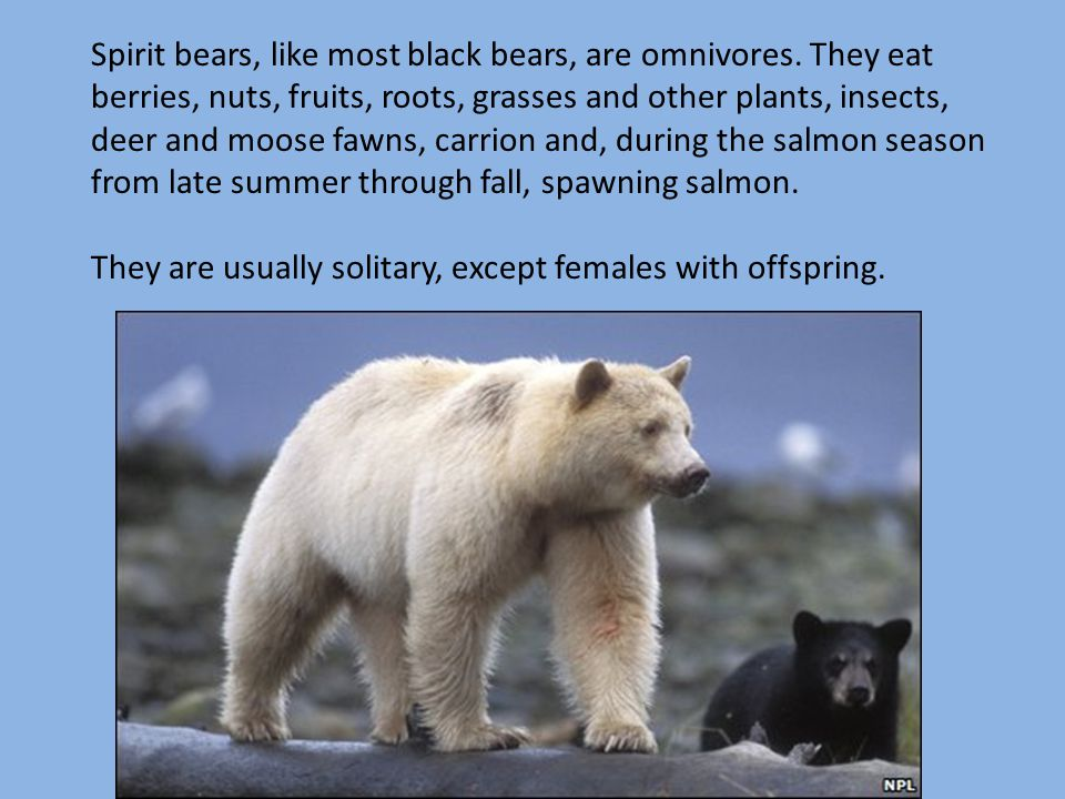 Spirit bears, like most black bears, are omnivores. They eat berries, nuts, fruits, roots, grasses and other plants, insects, deer and moose fawns, ca