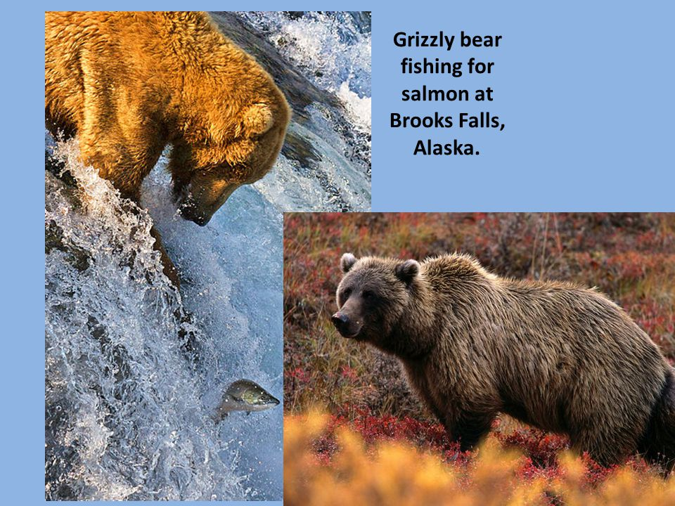 Grizzly bear fishing for salmon at Brooks Falls, Alaska.