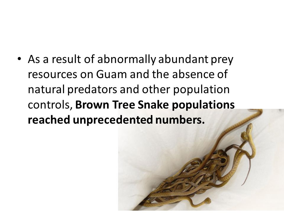 As a result of abnormally abundant prey resources on Guam and the absence of natural predators and other population controls, Brown Tree Snake populations reached unprecedented numbers.