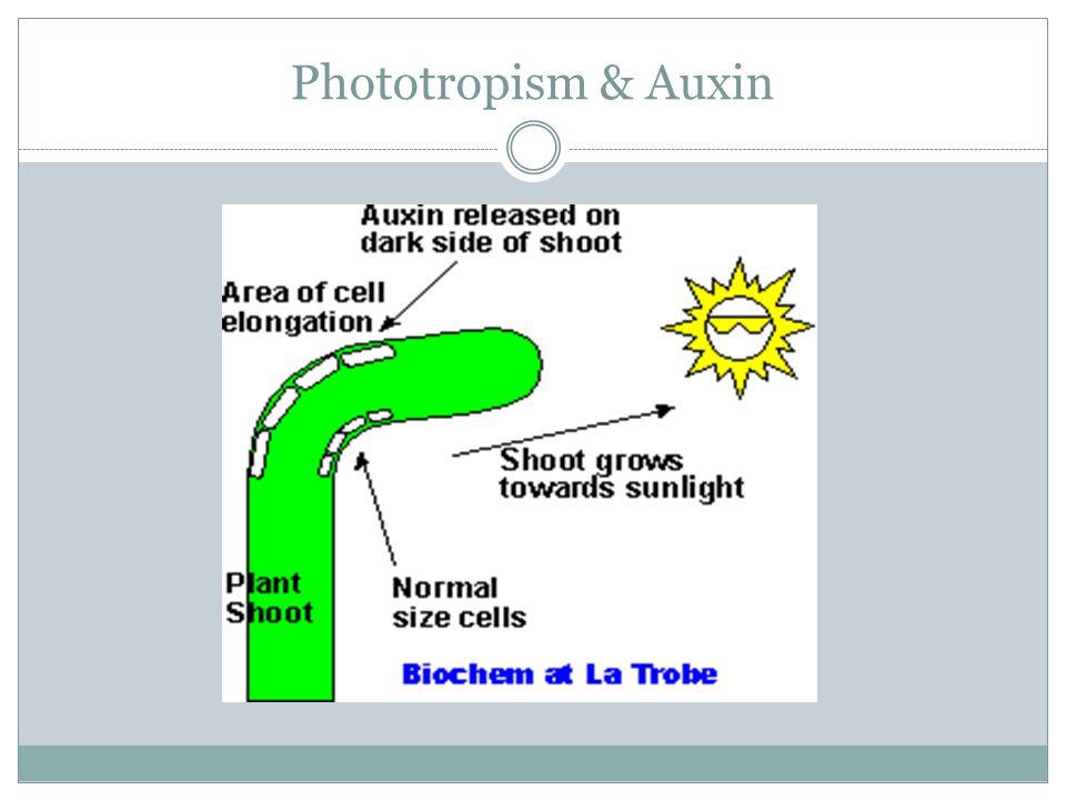 Phototropism & Auxin