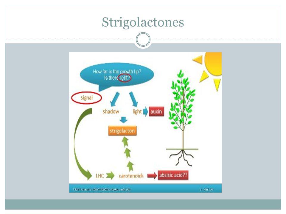 Strigolactones