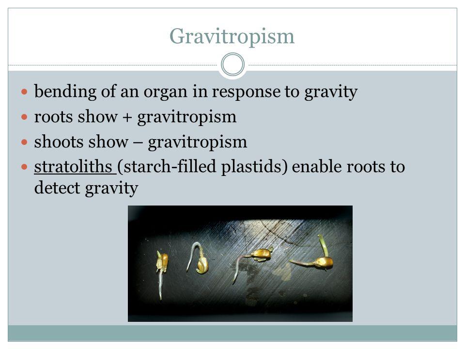 Gravitropism bending of an organ in response to gravity roots show + gravitropism shoots show – gravitropism stratoliths (starch-filled plastids) enab
