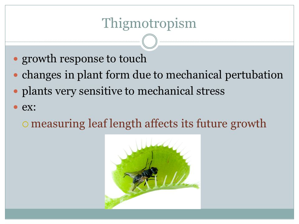 Thigmotropism growth response to touch changes in plant form due to mechanical pertubation plants very sensitive to mechanical stress ex:  measuring