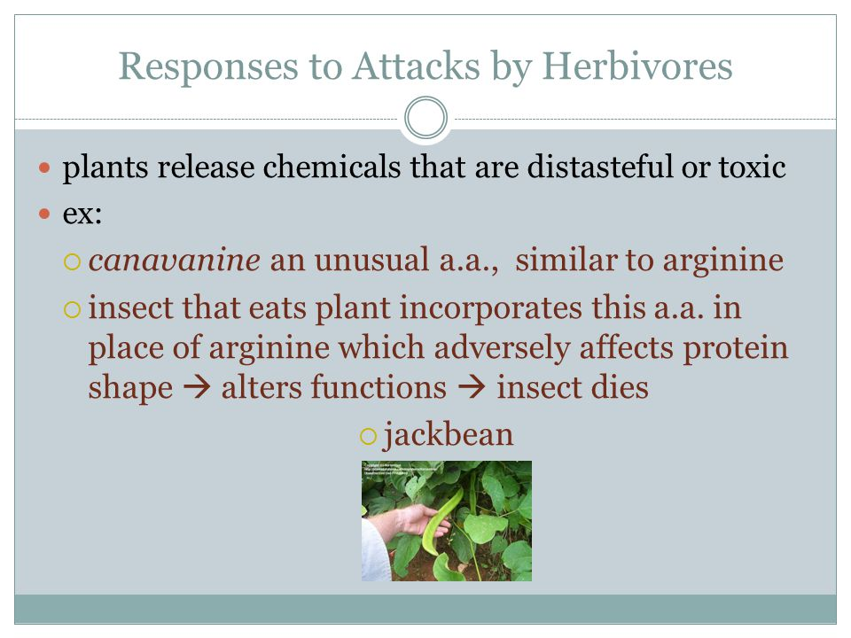 Responses to Attacks by Herbivores plants release chemicals that are distasteful or toxic ex:  canavanine an unusual a.a., similar to arginine  inse
