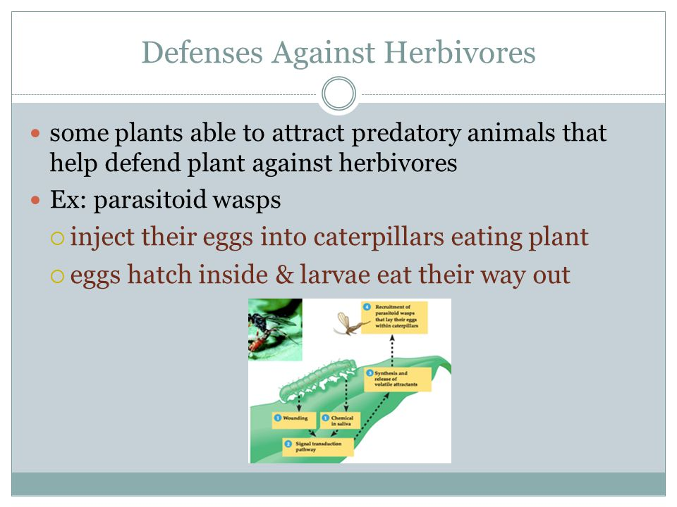 Defenses Against Herbivores some plants able to attract predatory animals that help defend plant against herbivores Ex: parasitoid wasps  inject thei