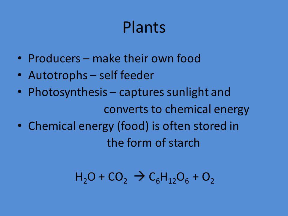 Plants Break down starch into sugar to get energy Cellular respiration C 6 H 12 O 6 + O 2  CO 2 + H 2 O + Energy