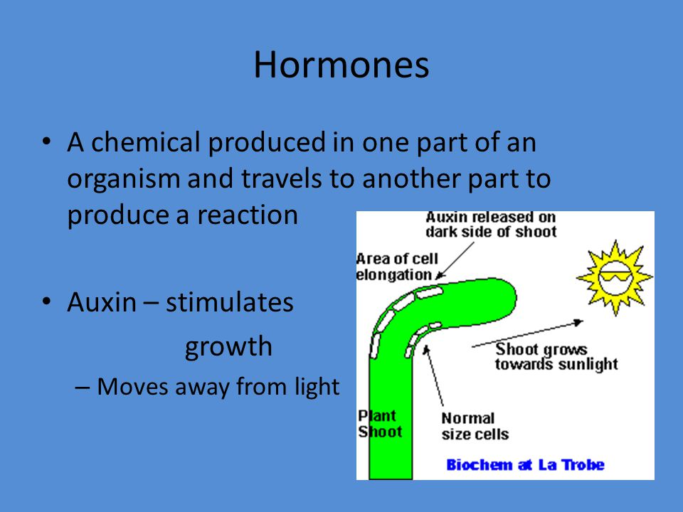 Hormones A chemical produced in one part of an organism and travels to another part to produce a reaction Auxin – stimulates growth – Moves away from