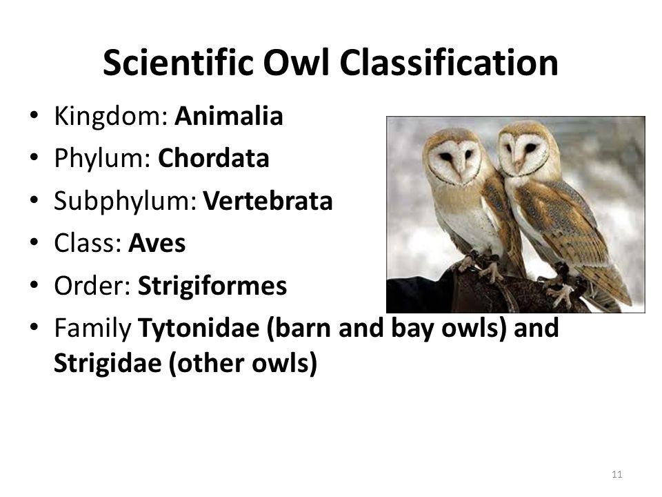 Scientific Owl Classification Kingdom: Animalia Phylum: Chordata Subphylum: Vertebrata Class: Aves Order: Strigiformes Family Tytonidae (barn and bay owls) and Strigidae (other owls) 11