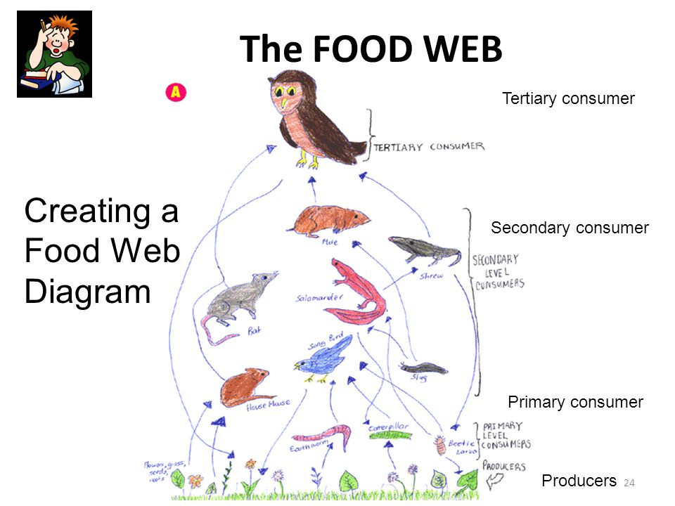 The FOOD WEB Tertiary consumer Secondary consumer Primary consumer Producers 24 Creating a Food Web Diagram