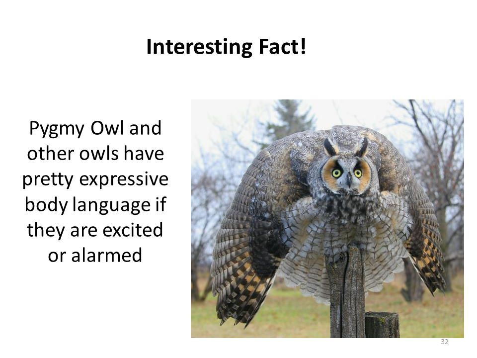 Pygmy Owl and other owls have pretty expressive body language if they are excited or alarmed Interesting Fact! 32