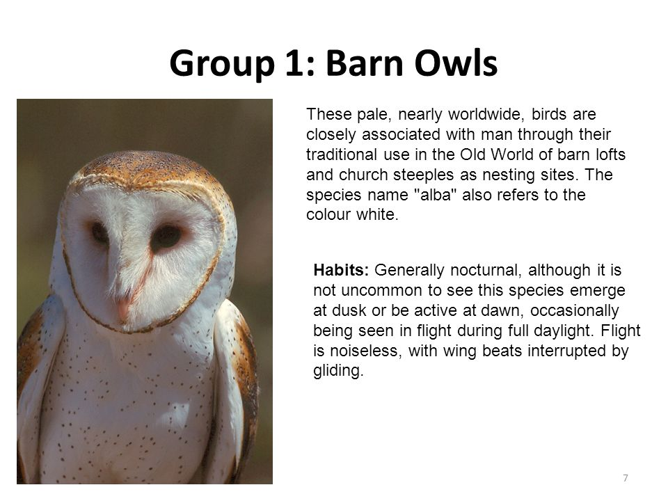 Group 1: Barn Owls 7 These pale, nearly worldwide, birds are closely associated with man through their traditional use in the Old World of barn lofts and church steeples as nesting sites.