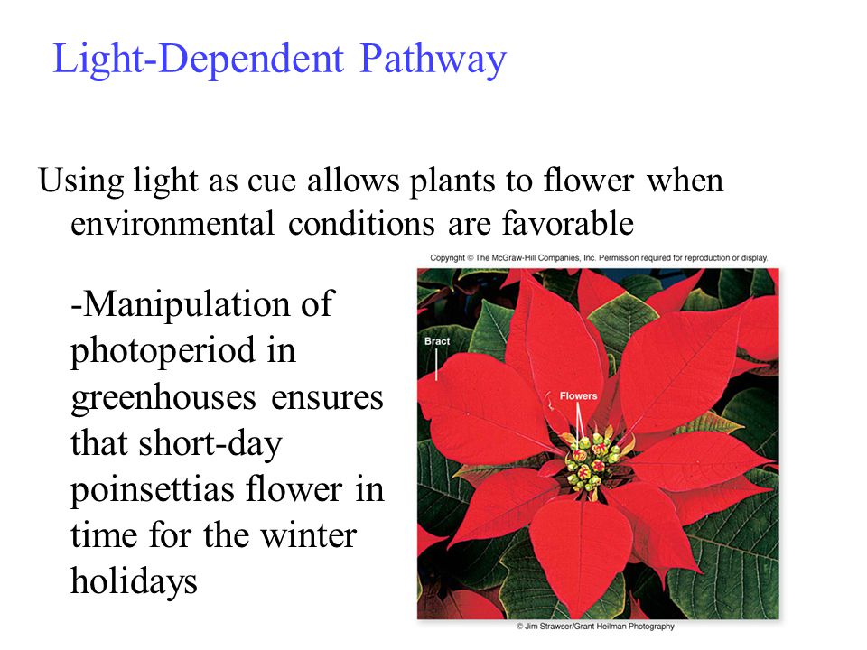 Light-Dependent Pathway Using light as cue allows plants to flower when environmental conditions are favorable 23 -Manipulation of photoperiod in greenhouses ensures that short-day poinsettias flower in time for the winter holidays