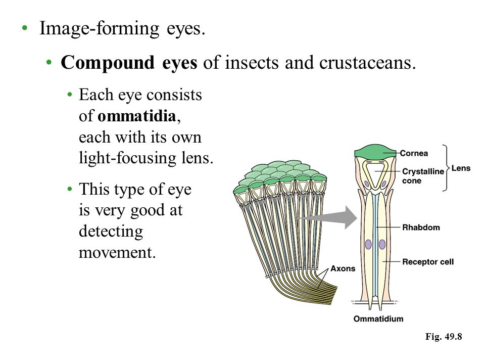 Image-forming eyes. Compound eyes of insects and crustaceans.