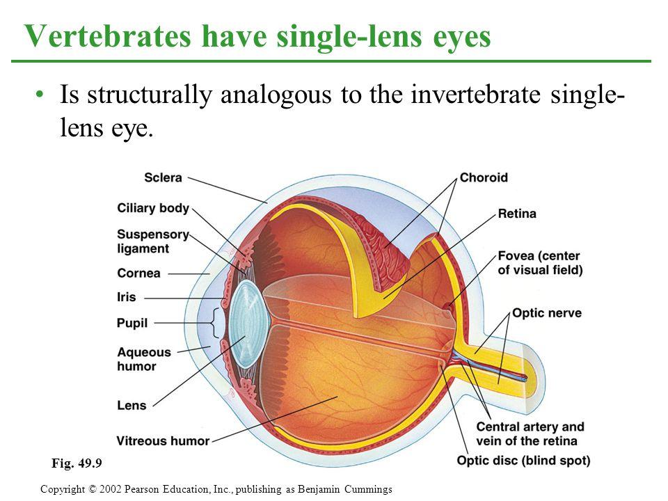Vertebrates have single-lens eyes Is structurally analogous to the invertebrate single- lens eye. Copyright © 2002 Pearson Education, Inc., publishing