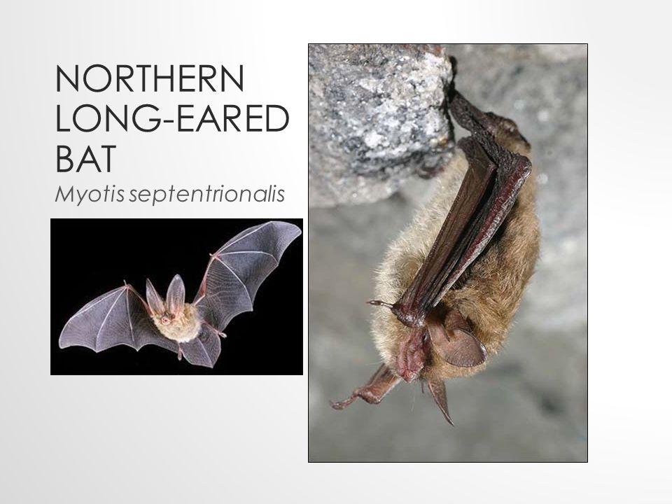 NORTHERN LONG-EARED BAT Myotis septentrionalis