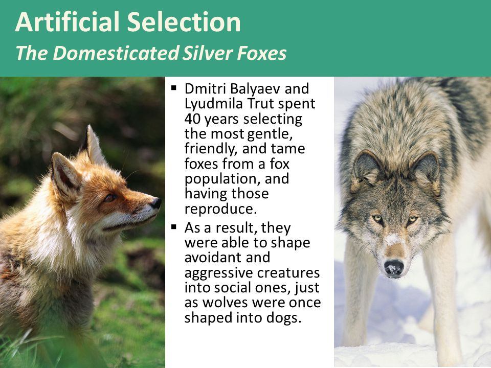 19  Dmitri Balyaev and Lyudmila Trut spent 40 years selecting the most gentle, friendly, and tame foxes from a fox population, and having those reproduce.