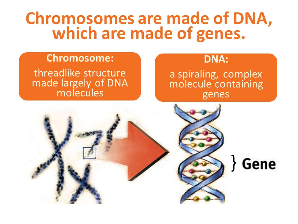 Chromosomes are made of DNA, which are made of genes.