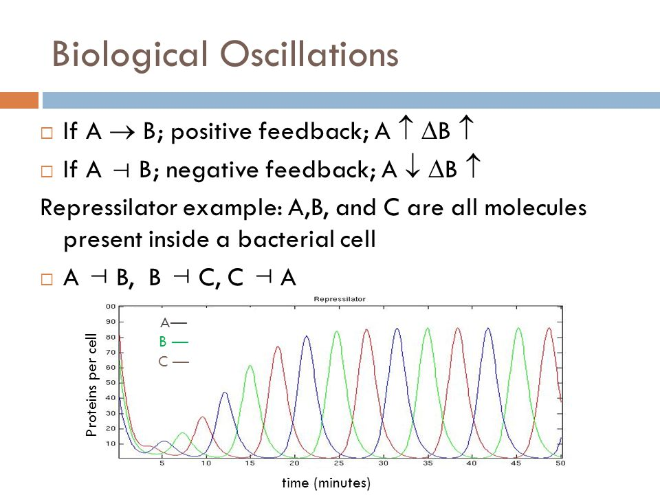 Biological Oscillations  If A  B; positive feedback; A   B   If A B; negative feedback; A   B  Repressilator example: A,B, and C are all molecules present inside a bacterial cell  A B, B C, C A   Proteins per cell time (minutes) A— B — C —