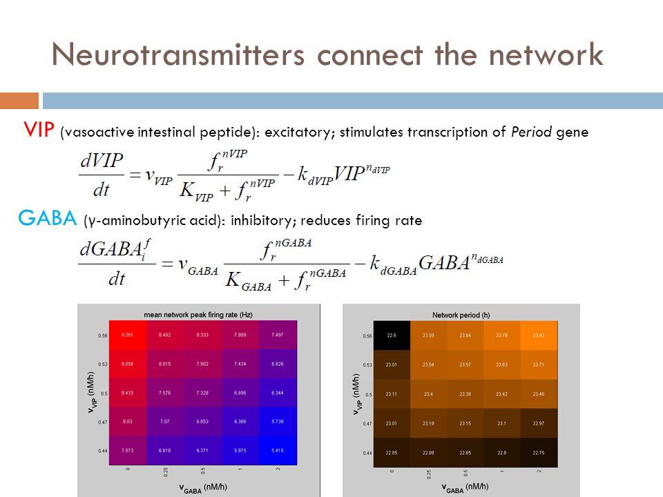 Neurotransmitters connect the network GABA ( γ -aminobutyric acid): inhibitory; reduces firing rate VIP (vasoactive intestinal peptide): excitatory; stimulates transcription of Period gene