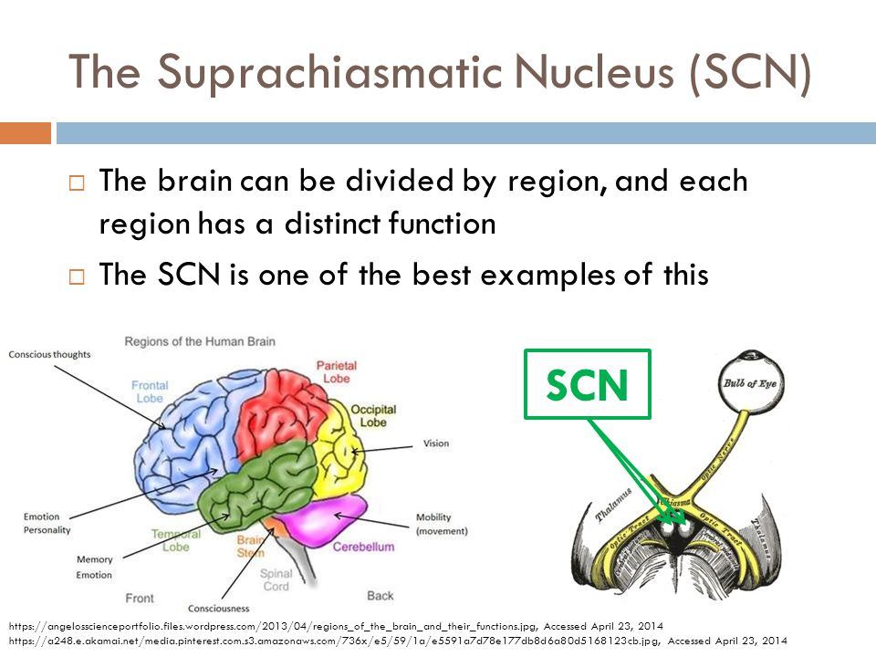 The Suprachiasmatic Nucleus (SCN): An experiment Mice Population 1Mice Population 2 Lights were on from 5am-5pmLights were on from 5pm-5am Exercised at 5pmExercised at 5am Lights were off for 24h; rhythm is preservedLights were off for 24h; rhythm preserved SCN was surgically removed; rhythm is lostSCN was surgically removed, rhythm is lost SCN from Population 1 was transplanted into Population 2 Continued to exercise at random timesGot rhythm from Pop 1, exercised at 5pm Adapted from: Sujino, M.