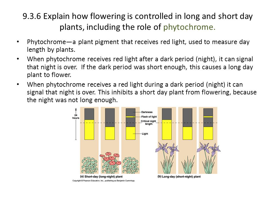 9.3.6 Explain how flowering is controlled in long and short day plants, including the role of phytochrome. Phytochrome—a plant pigment that receives r