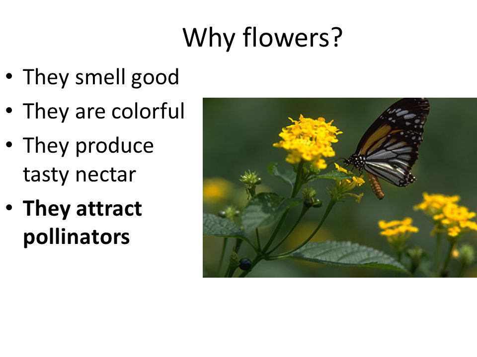 Why flowers They smell good They are colorful They produce tasty nectar They attract pollinators