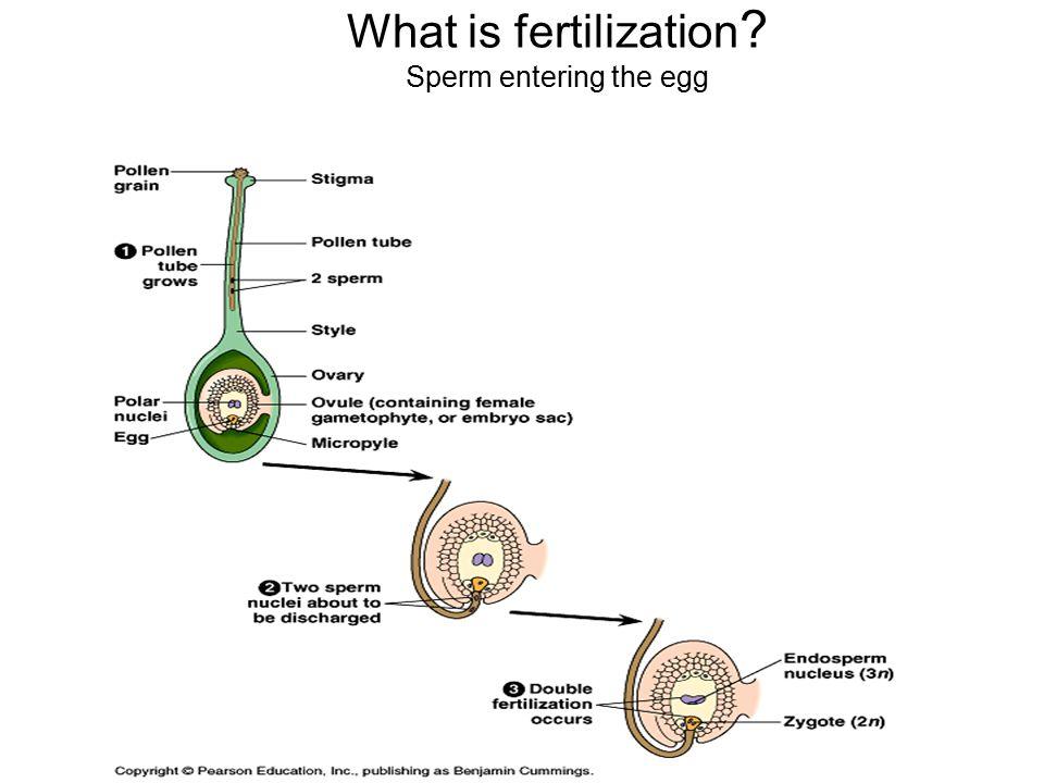 What is fertilization ? Sperm entering the egg