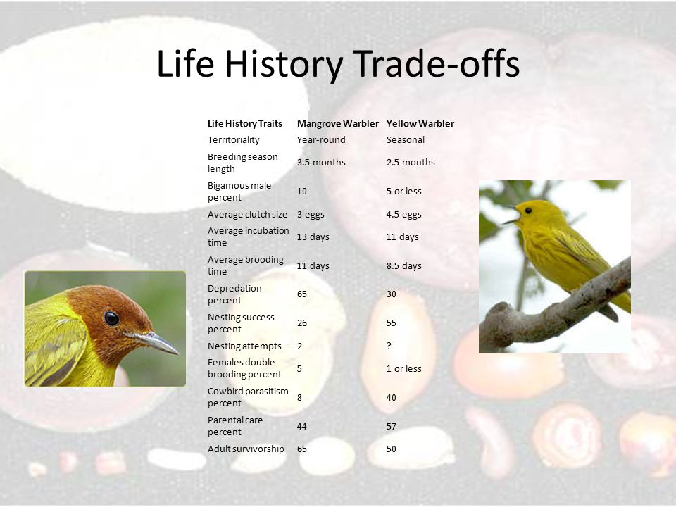 Life History Trade-offs Life History TraitsMangrove WarblerYellow Warbler TerritorialityYear-roundSeasonal Breeding season length 3.5 months2.5 months Bigamous male percent 105 or less Average clutch size3 eggs4.5 eggs Average incubation time 13 days11 days Average brooding time 11 days8.5 days Depredation percent 6530 Nesting success percent 2655 Nesting attempts2.