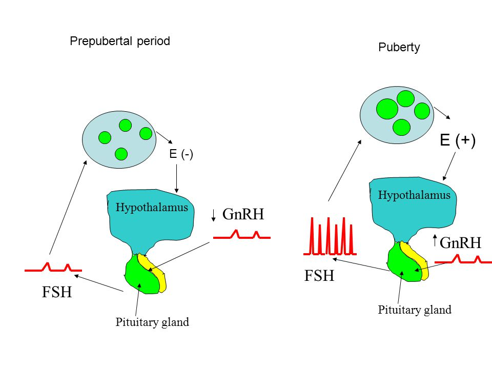 GnRH Hypothalamus Pituitary gland FSH E (-) GnRH Hypothalamus Pituitary gland FSH E (+) Prepubertal period Puberty