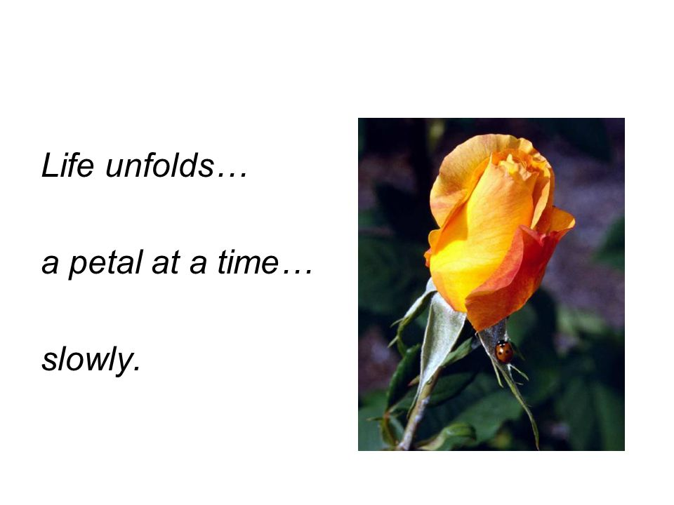 Life unfolds… a petal at a time… slowly.