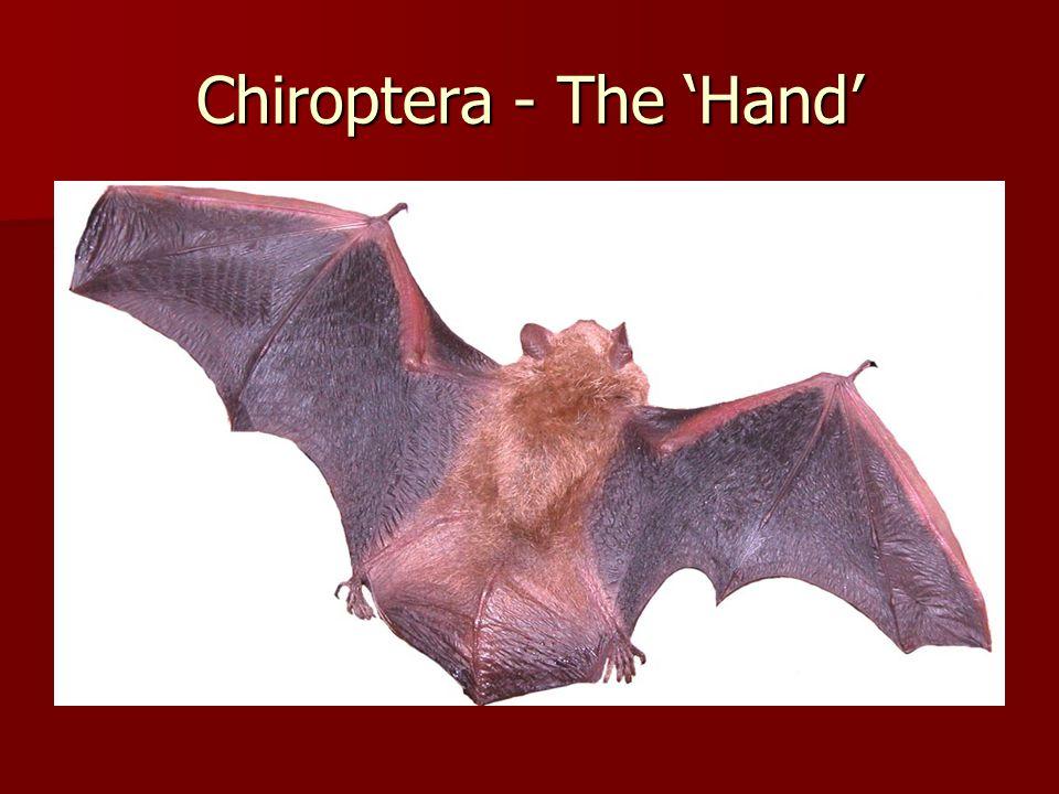 Chiroptera - The 'Hand'