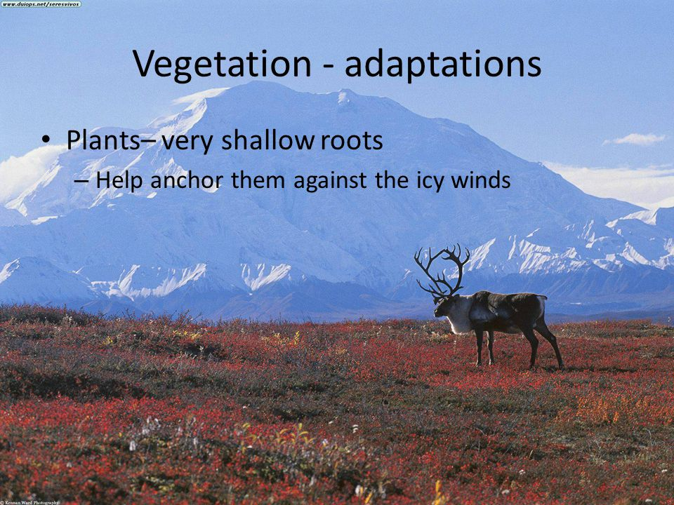 Vegetation - adaptations Plants– very shallow roots – Help anchor them against the icy winds