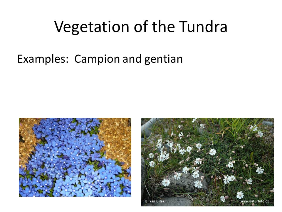 Vegetation of the Tundra Examples: Campion and gentian