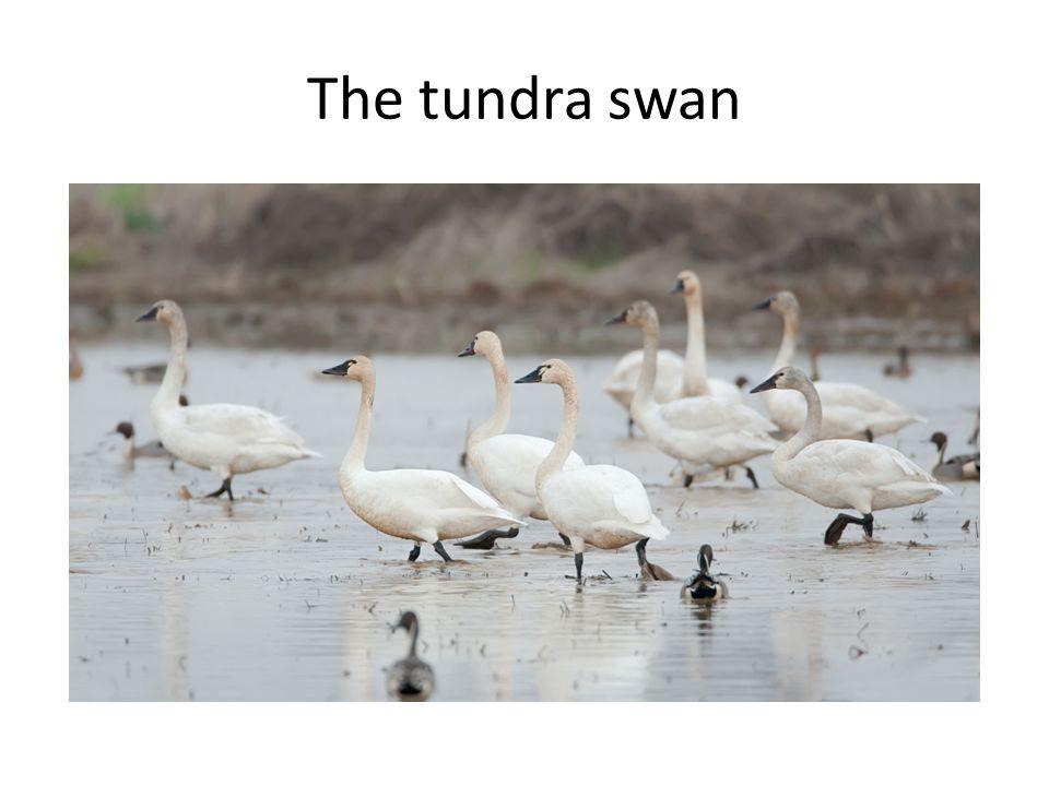 The tundra swan