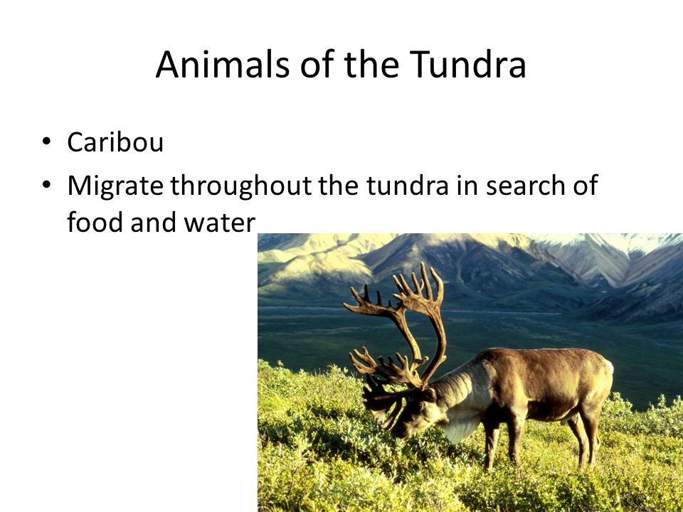 Animals of the Tundra Caribou Migrate throughout the tundra in search of food and water