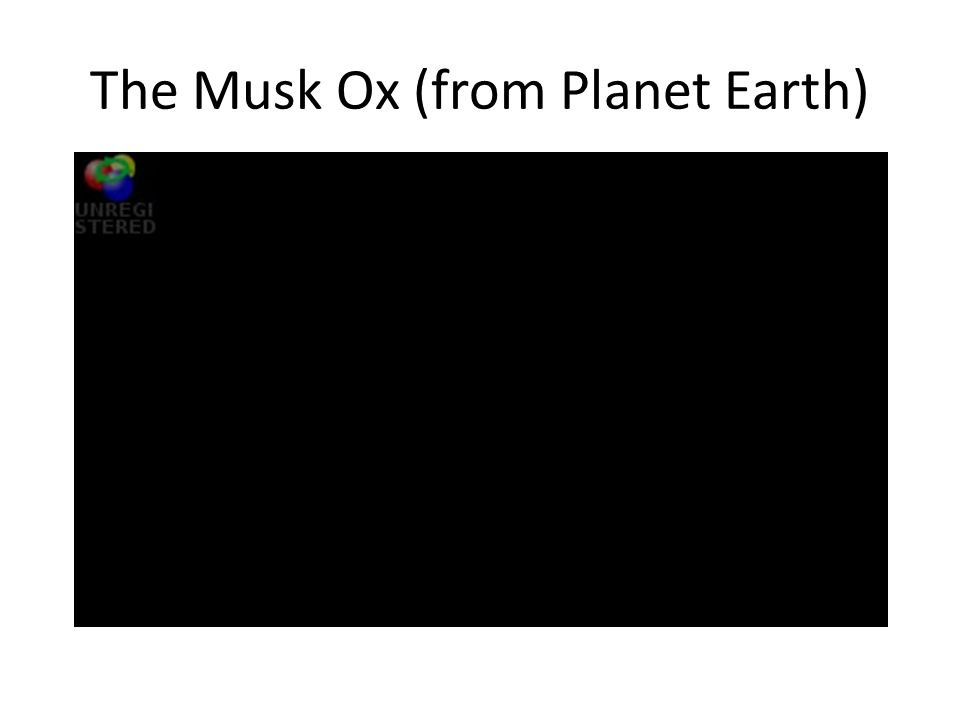 The Musk Ox (from Planet Earth)