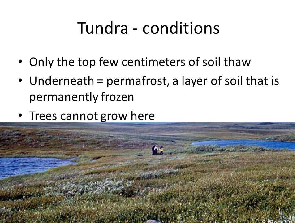 Tundra - conditions Only the top few centimeters of soil thaw Underneath = permafrost, a layer of soil that is permanently frozen Trees cannot grow he