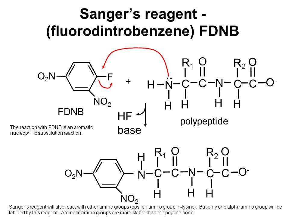 Sanger's reagent - (fluorodintrobenzene) FDNB H N H NO 2 F O2NO2N FDNB + HF base NO 2 O2NO2N N H polypeptide H C R1R1 C O N H C R2R2 H C O O-O- H C R1R1 C O N H C R2R2 H C O O-O-..