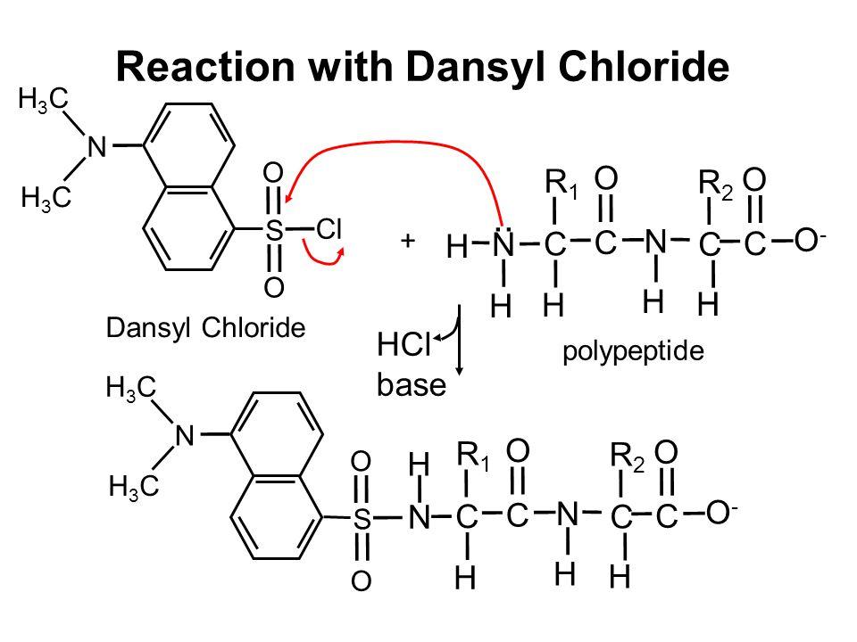 Reaction with Dansyl Chloride H N H Dansyl Chloride + HCl base N H Cl O S O N H3CH3C H3CH3C S O N H3CH3C H3CH3C O H C R1R1 C O N H C R2R2 H C O O-O- H C R1R1 C O N H C R2R2 H C O O-O- polypeptide..