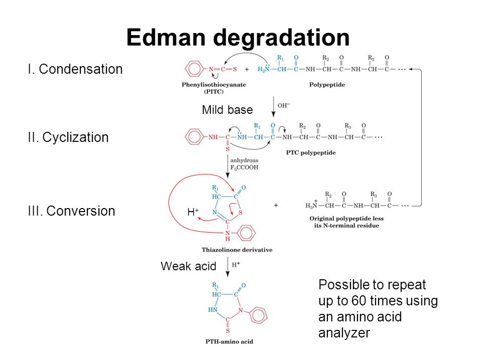 Edman degradation I. Condensation Mild base II. Cyclization III. Conversion Weak acid H+H+ Possible to repeat up to 60 times using an amino acid analy