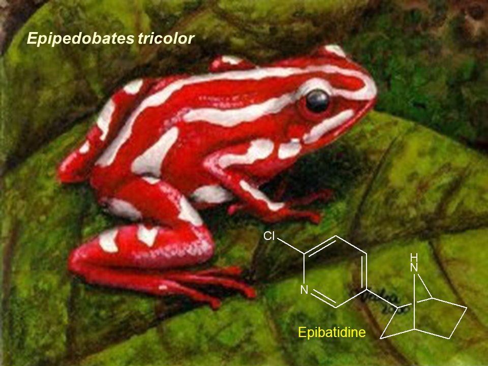 Epipedobates tricolor Epibatidine