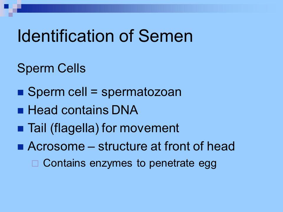 Identification of Semen Confirmatory Tests Christmas Tree Stain (of sperm cells) Prostate-Specific Antigen (PSA)