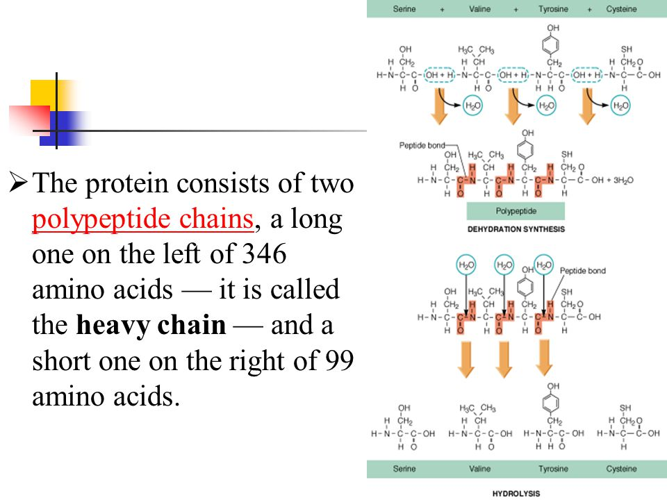 The protein consists of two polypeptide chains, a long one on the left of 346 amino acids — it is called the heavy chain — and a short one on the ri