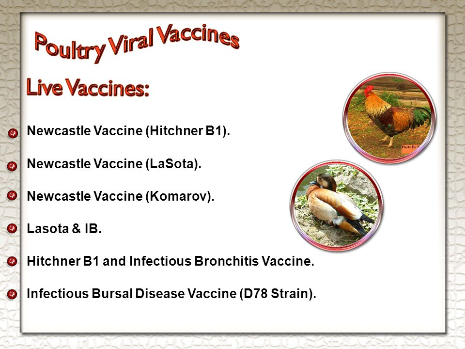 Newcastle Vaccine (Hitchner B1). Newcastle Vaccine (LaSota).