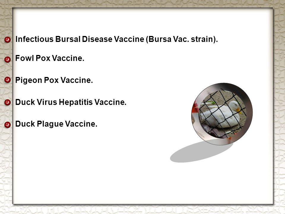 Infectious Bursal Disease Vaccine (Bursa Vac. strain).