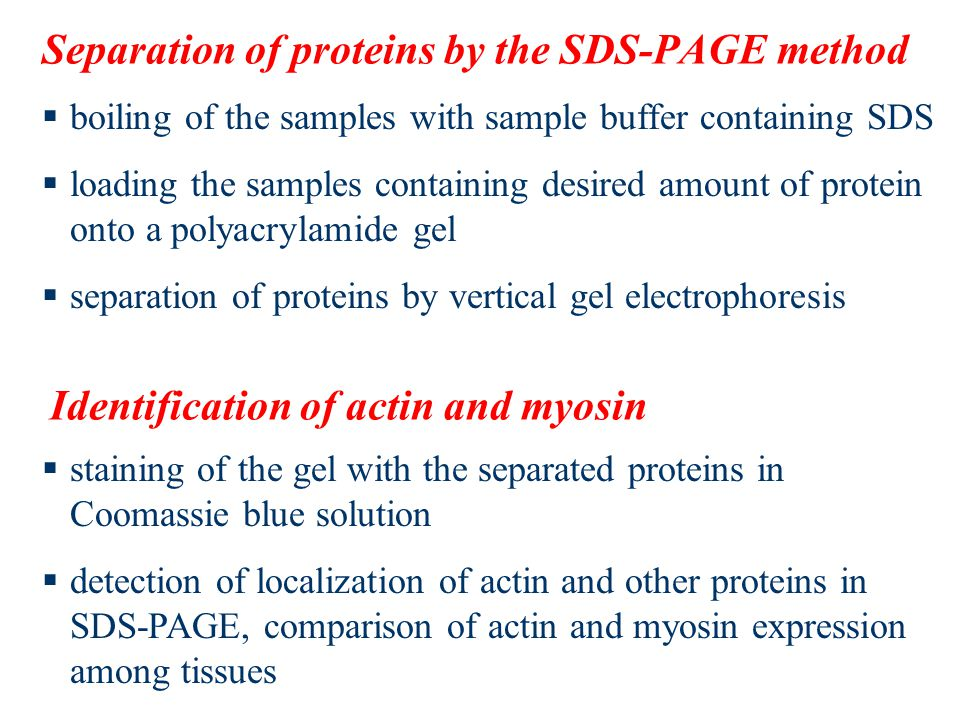 Separation of proteins by the SDS-PAGE method  boiling of the samples with sample buffer containing SDS  loading the samples containing desired amount of protein onto a polyacrylamide gel  separation of proteins by vertical gel electrophoresis Identification of actin and myosin  staining of the gel with the separated proteins in Coomassie blue solution  detection of localization of actin and other proteins in SDS-PAGE, comparison of actin and myosin expression among tissues